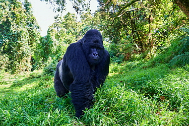 Mountain gorilla (Gorilla beringei beringei) silverback male, member of the Nyakagezi group, Mgahinga National Park, Uganda.