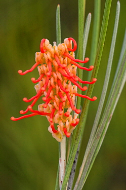 Red toothbrushes (Grevillea cagiana), Dunn Rock Nature Reserve, Western Australian endemic, Western Australia.