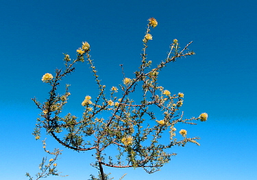 Grevillea (Grevillea erinacea) flower, Western Australian endemic.