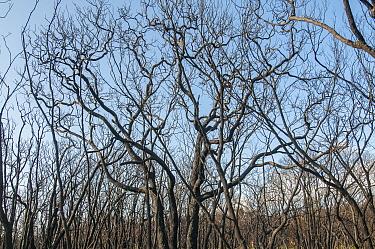 Coastal woodland devastated by bushfire, near Margaret River in Leeuwin-Naturaliste National Park, Western Australia photographed a fortnight after December 2011 fire