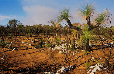 Tall heathland, with a grass tree (Xanthorrhoea) in the foreground, regenerating after bushfire - Neerabup National Park, Perth Region, Western Australia. June 2000.