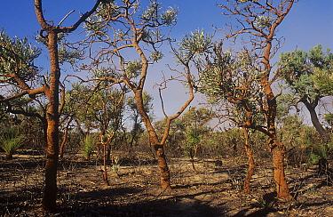 Banksia woodland regenerating after bushfire, Neerabup National Park, Perth Region, Western Australia. June 2000.