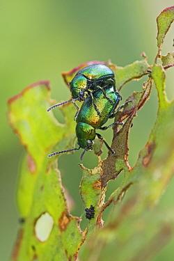Flea beetles (Altica Sp) mating pair, Sutcliffe Park Nature Reserve, Eltham, London, England, UK, April.