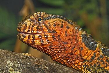 Chinese crocodile lizard (Shinisaurus crocodilurus) occurs in Southern China and Northern Vietnam. Captive.