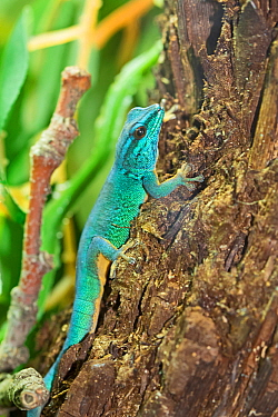 Williams' / Turquoise dwarf gecko (Lygodactylus williamsi) male, Kimboza and Ruvu forest reserves, Tanzania, Critically Endangered . Captive.