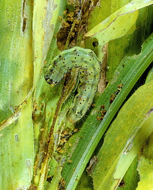 Cotton bollworm / Tomato fruitworm (Helicoverpa zea) caterpillar feeding on young maize foliage, North Carolina, USA, October