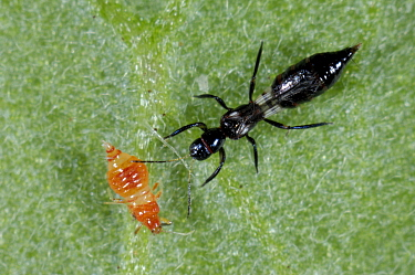 Predatory thrips (Franklinothrips vespiformis) larva and adult used for biological pest control of thrips in protected crops