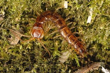 Centipede (Lithobius forficatus) adult predator, Devon, England, UK, June.