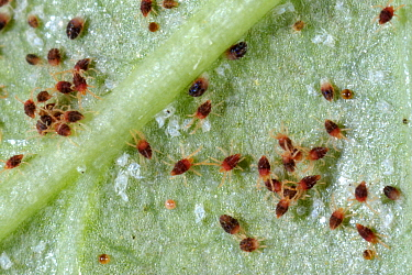 Carmine spider mites (Tetranychus cinnabarinus) pest infestation and damage to a rose leaf , Devon, England, UK. June.