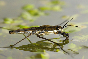 Pond skater (Gerris lacustris) on water surface with duckweed and algae, Devon, England, UK, July