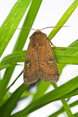 Turnip cutworm (Agrotis segetum) moth on grass, Devon, England, UK. September