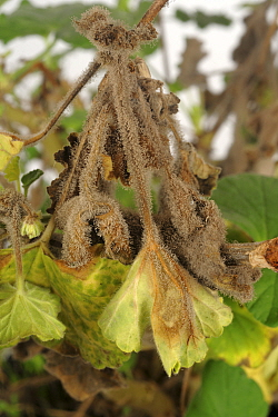 Sporulating grey mould (Botrytis cinerea) on the stems and leaves of a mature Pelargonium pot plant in winter