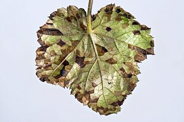 Foliar nematode (Aphelenchoides spp.) angular leaf spotting on an ornamental anemone plant leaf underside
