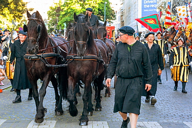 Friesian horses pulling Charles Quint's carriage during Ommegang religious and historical pageant procession. Brussels, Begium. June 2019.