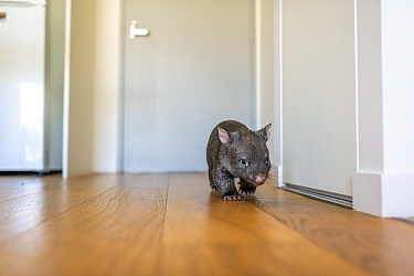 A 9-month-old orphaned and rescued baby bare-nosed wombat (Vombatus ursinus) 'Beatrice', exploring apartment. Due to Covid-19 lockdown, Emily Small. founder of Goongerah Wombat Orphanage, is c...