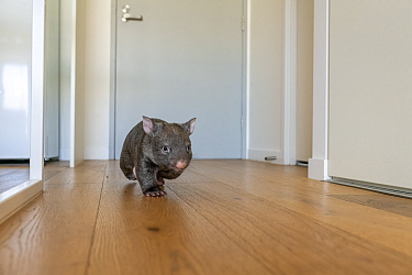 A 9-month-old orphaned and rescued baby bare-nosed wombat (Vombatus ursinus) 'Beatrice', running in apartment. Due to Covid-19 lockdown, Emily Small. founder of Goongerah Wombat Orphanage, is...