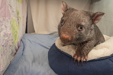 A 9-month-old orphaned and rescued female bare-nosed wombat (Vomabtus ursinus) called Beatrice, in her cot. Temporarily captive, until old enough to be released. Preston, Victoria, Australia. July, 20...