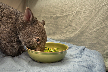 A 9-month-old orphaned and rescued female bare-nosed wombat (Vomabtus ursinus) called Beatrice, in her cot, feeding on some grass and dirt. Temporarily captive, until old enough to be released. Presto...