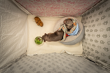 Editorial use only' One 8 and one 9-month-old male orphaned and rescued baby bare-nosed wombat (Vomabtus ursinus) - named Bronson and Landon -in their cot, snuffling dirt and chewing grass that has b...