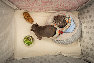 Two orphaned and rescued male baby bare-nosed wombats (Vombatus ursinus) named 'Bronson' and 'Landon' snuffling dirt and chewing grass that has been placed in their cot. Temporarily ca...