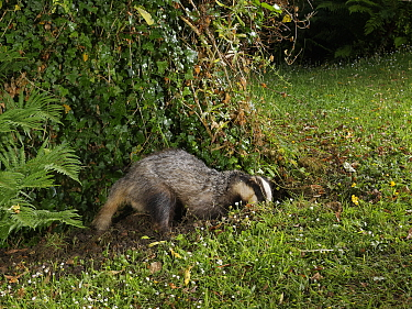 European badger (Meles meles) digging in a garden lawn at night, possibly to excavate a Bumblebee nest to feed on, Wiltshire, UK, June.