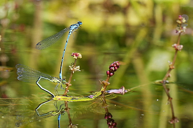 Azure damselfly (Coenagrion puella) pair in tandem as the female stands on a Spiked water milfoil (Myriophyllum spicatum) plant to lay her eggs in a garden pond, Wiltshire, UK, May.