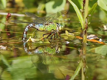 Emperor dragonfly / Blue emperor (Anax imperator) female standing on pond vegetation while dipping her abdomen into the water to lay eggs on submerged stems, Wiltshire, UK, May.