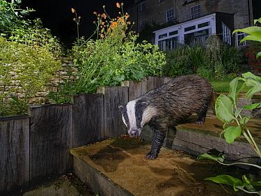 European badger (Meles meles) walking down garden steps at night, past flowering Geum, Wiltshire, UK, June. Property released.