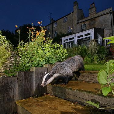 European badger (Meles meles) walking down some garden steps at night, past flowering Geum, Wiltshire, UK, June. Property released.