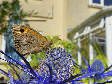 Meadow brown butterfly (Maniola jurtina) nectaring on Eryngium (Eryngium sp.) flowers in a suburban garden close to a house, Bradford-on-Avon, Wiltshire, UK, June. Property released.
