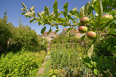 Organic suburban garden with a mix of fruit including Apples (Malus domestica) and Raspberries (Rubus idaeus), vegetables including Broad beans (Vicia faba), Lettuce (Lactuca sativa) and Cavalo neroe...