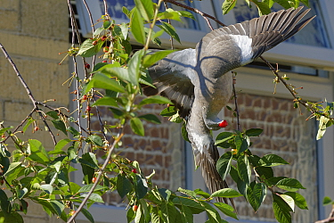 Wood pigeon (Columba palumbus) juvenile hanging upside down from a thin twig to pluck a Morello cherry (Prunus cerasus) from a tree in a suburban garden close to a house, Bradford-on-Avon, Wiltshire,...