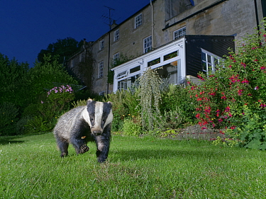European badger (Meles meles) foraging on a garden lawn at night, digging for insect grubs, Wiltshire, UK, June. Property released.