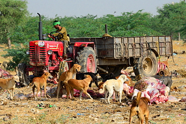 Feral dogs, living on garbage dump, these have become a serious threat to local wildlife. Bikaner, Rajasthan, India.
