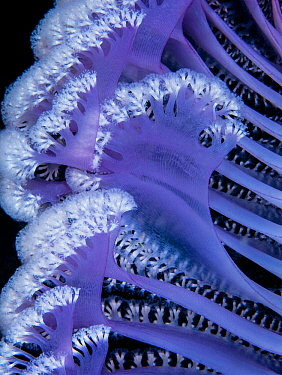 Purple sea pen (Virgularia gustaviana), close up of polyps on branches. Komodo, Indonesia.