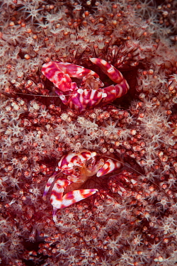 Soft coral porcelain crab (Lissoporcellana nakasonei) pair in Organ pipe coral (Tubipora musica). Pantar, Alor Archipelago, Lesser Sunda Islands, Indonesia.