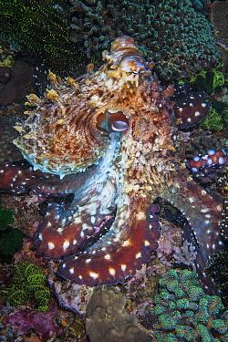Day octopus (Octopus cyanea) on sea floor. Komodo, Indonesia.