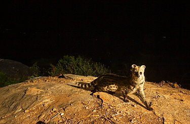 Small Indian civet (Viverricula indica) on rock. Nilgiri Biosphere Reserve, India. Camera trap image.