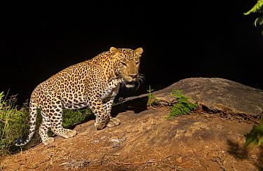 Indian leopard (Panthera pardus fusca) dominant male on rock. Nilgiri Biosphere Reserve, India. Camera trap image.