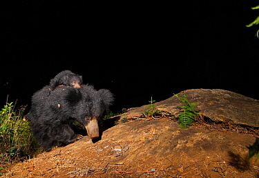 Sloth bear (Melursus ursinus) female carrying cub on back. Nilgiri Biosphere Reserve, India. Camera trap image.