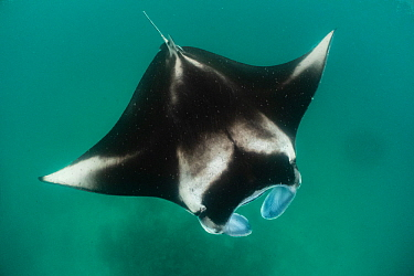 Reef manta ray (Manta alfredi) filter feeding on plankton. Madhivafaru Reef, Raa Atoll, Maldives
