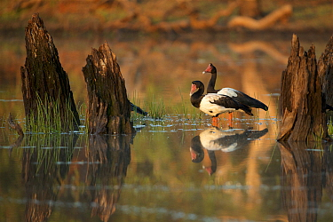 Magpie Goose (Anseranas semipalmata) at sunrise Lotusbird Billabong, Cape York Peninsula Queensland, Australia