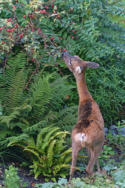 Roe deer (Capreolus capreolus) doe browsing a Rose Bush in a flowerbed, Wiltshire garden, UK, October.