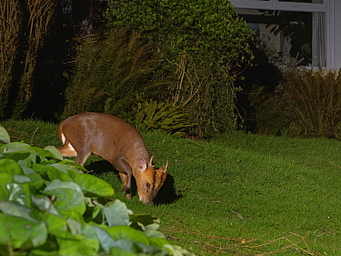 Reeve's muntjac deer / Barking deer (Muntiacus reevesi) buck grazing a garden lawn at night close to a house, Wiltshire, UK, March. Taken by a remote DSLR camera trap.