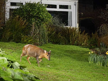Reeve's muntjac deer / Barking deer (Muntiacus reevesi) doe crossing a garden lawn at night close to a house, Wiltshire, UK, March. Taken by a remote DSLR camera trap.