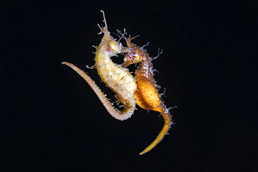 Korean seahorses (Hippocampus haema) engaged in spawning. The lighter-coloured female on the left is depositing eggs into the brooding pouch of the male (right). Kumamoto Prefecture, Kyushu, Japan.