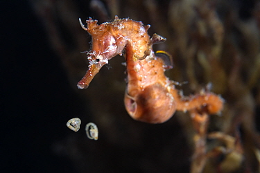Male Korean seahorse (Hippocampus haema) giving birth. The babies are still curled up inside the egg membranes. Kumamoto Prefecture, Kyushu, Japan.