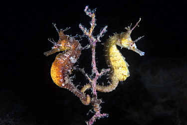 A pair of Korean seahorses (Hippocampus haema) engaged in unusual post-mating courtship, tails intertwined. Male on left, female on right. Kumamoto Prefecture, Kyushu, Japan.