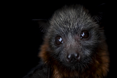 Portrait of a female rescued Grey-headed flying-fox (Pteropus poliocephalus) pup. Captive - Taken in controlled conditions and under supervision of wildlife carer. Black Rock Animal Shelter,?Beaumari...