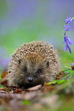 European hedgehog (Erinaceus europaeus) and Bluebell, Peak District, UK. May.